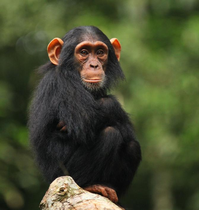 An infant chimp.