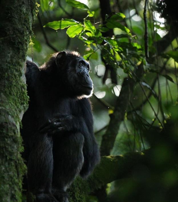 A chimpanzee.