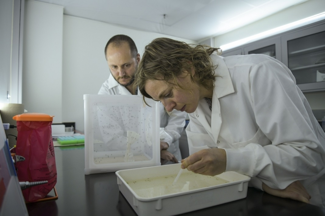 School of Life Sciences mosquito research