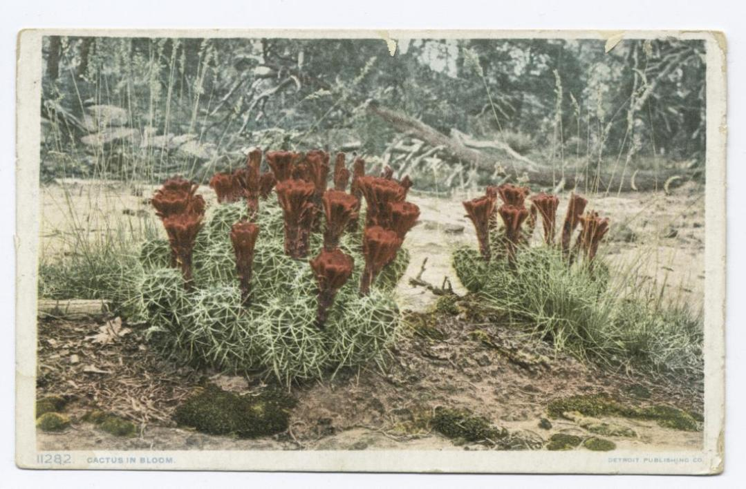 An image of cacti with flowers