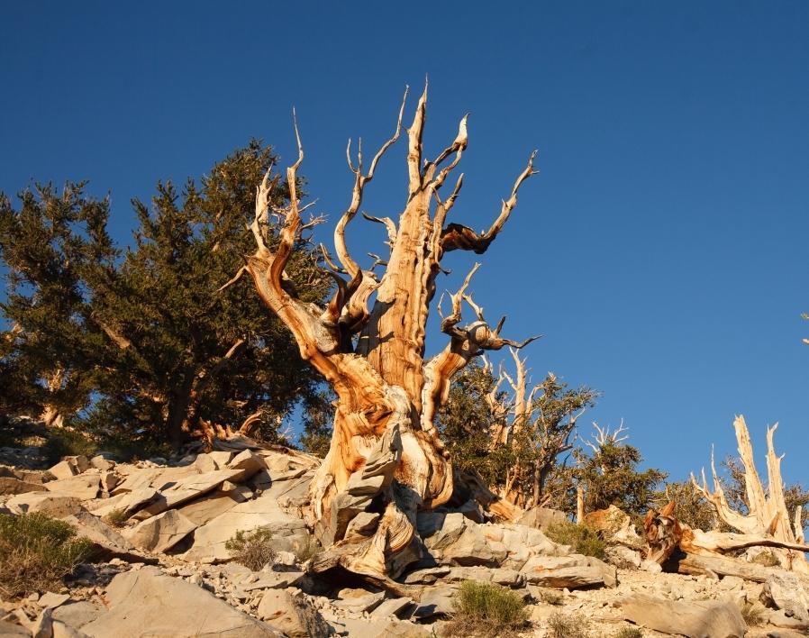 methuselah, world's oldest tree