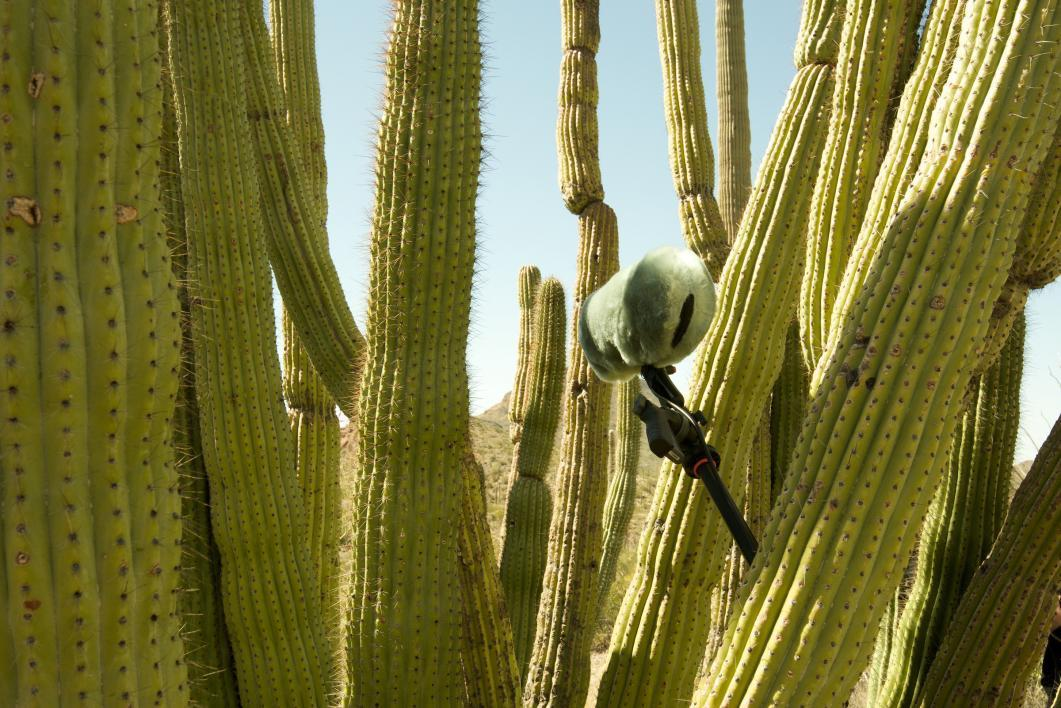 An audio recorder in an organ pipe cactus.