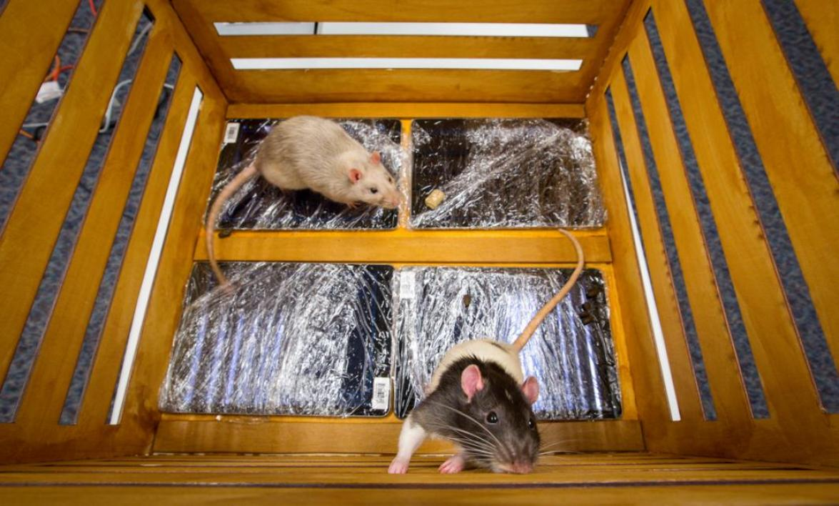 Rats walking on iPads, in a crate.