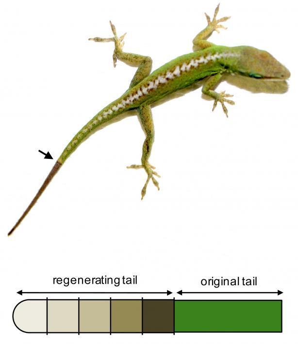Regenerating lizard