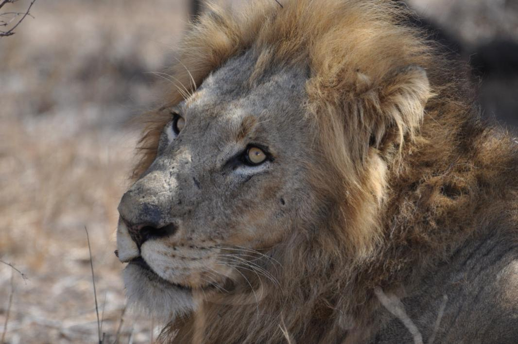 photo of lion from South African safari