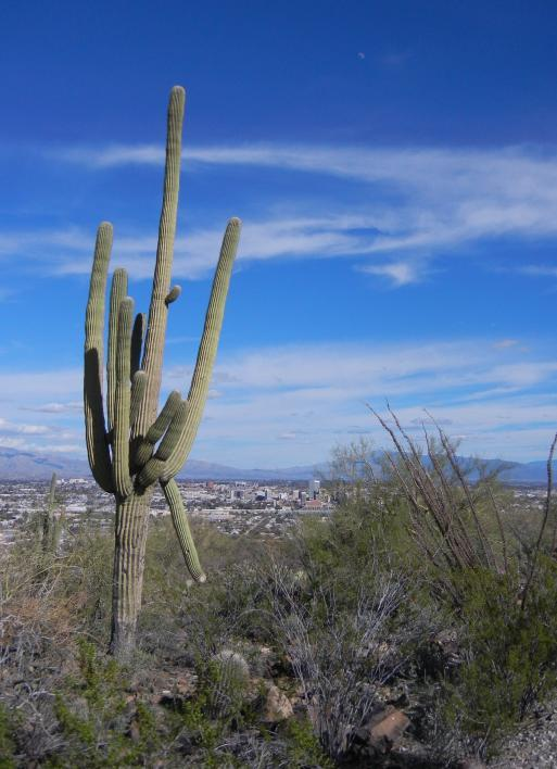 Saguaro specimen sampled for genome.