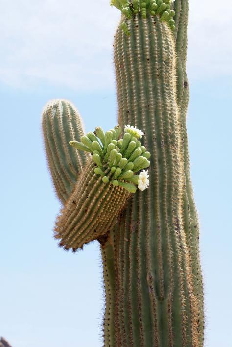 Saguaro in flower