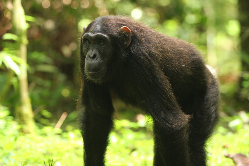 analyzing the acts of cannibalism and infanticide as string behaviors of the chimpanzee Cannibalism essay examples analyzing the acts of cannibalism and infanticide as string behaviors of the chimpanzee 2,454 words.