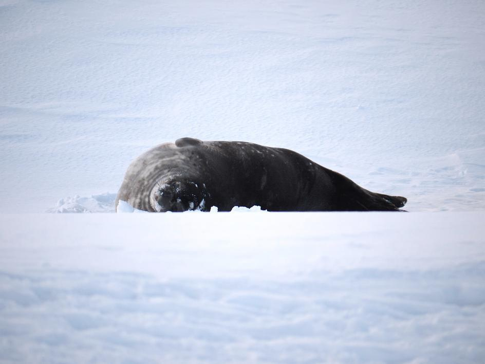 seal in snow in Antarctica