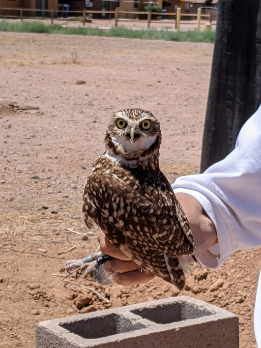 burrowing owl held by Greg Clark stares at the camera