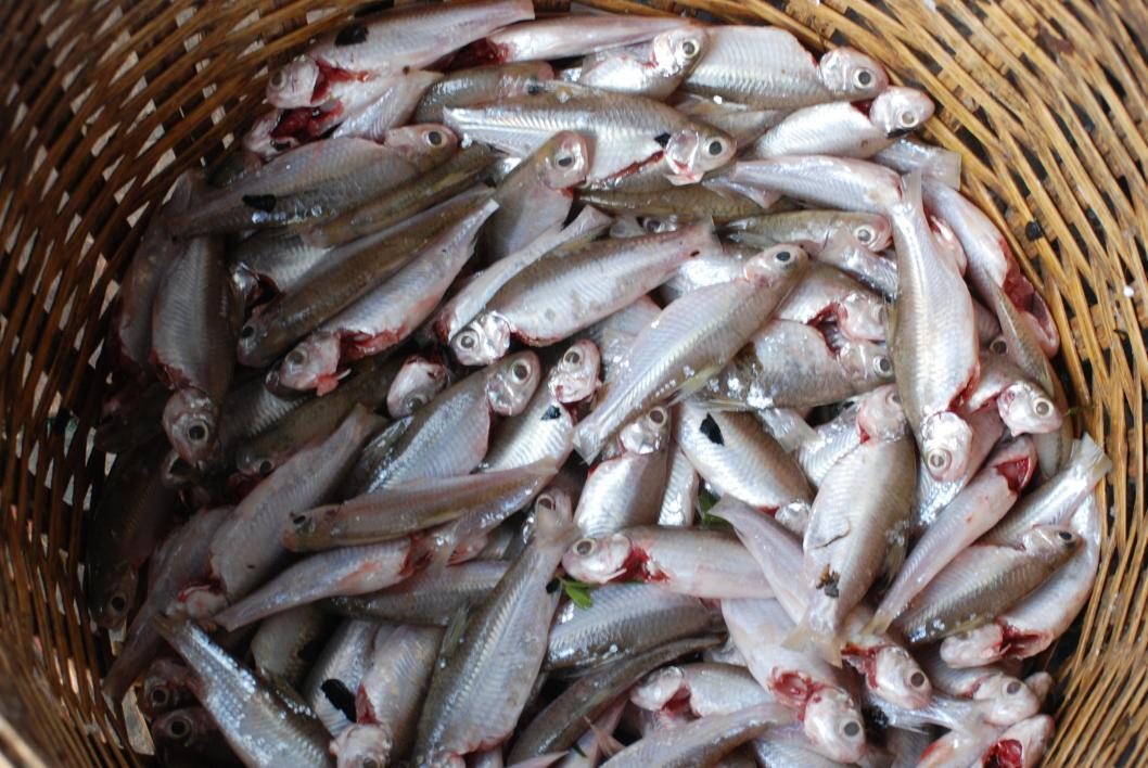 Fish from the Henicorynchus group are vital for food security in Cambodia.