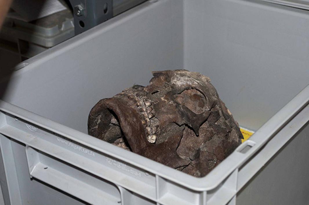 Partially curated cranium.