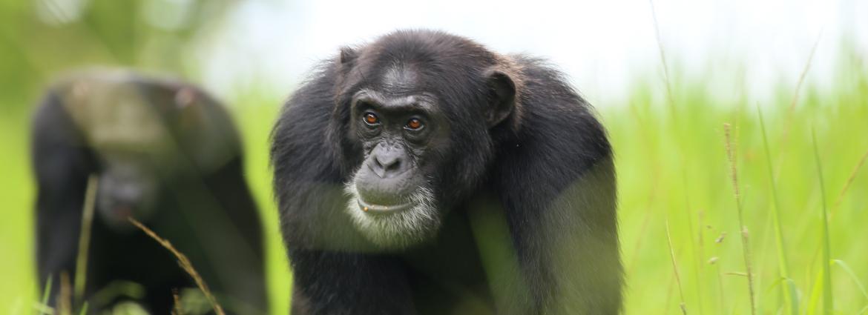 Chimpanzee in a field
