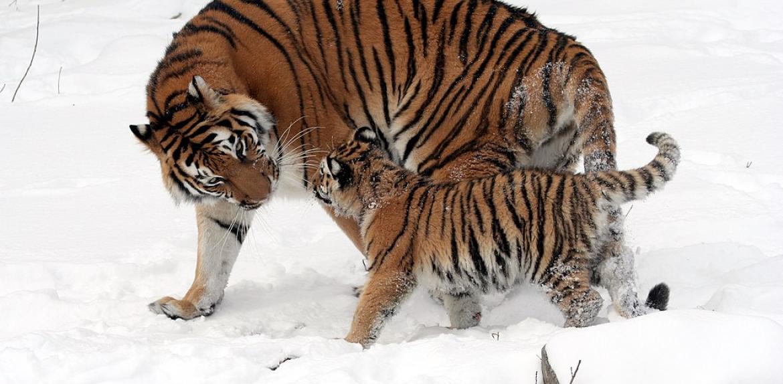 Tiger with cub ASU