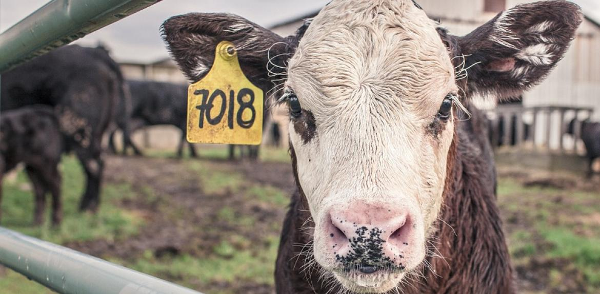 cow in a pen on a farm with a tag on its ear