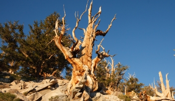 Ancient pine tree Methuselah