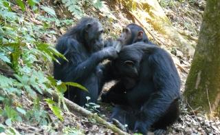 chimpanzees_grooming