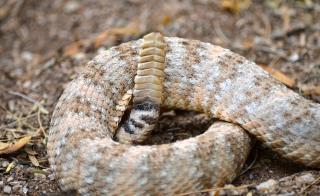 A rattlesnake rattle