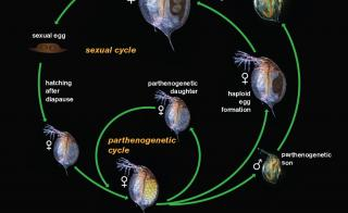 Illustration of the Daphnia reproduction cycle