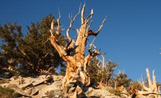 Ancient pine tree Methuselah