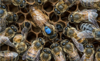 A queen bee with a blue dot on its body is surrounded by worker bees