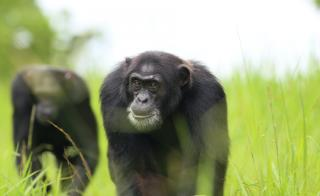 Chimpanzee in a field