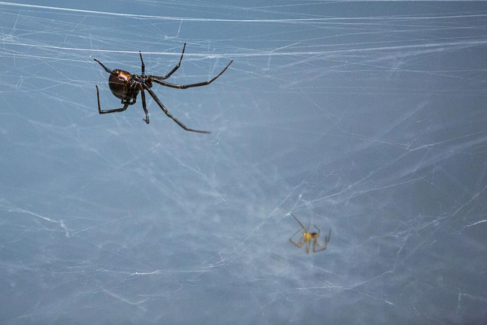 Black widow spiders on a web