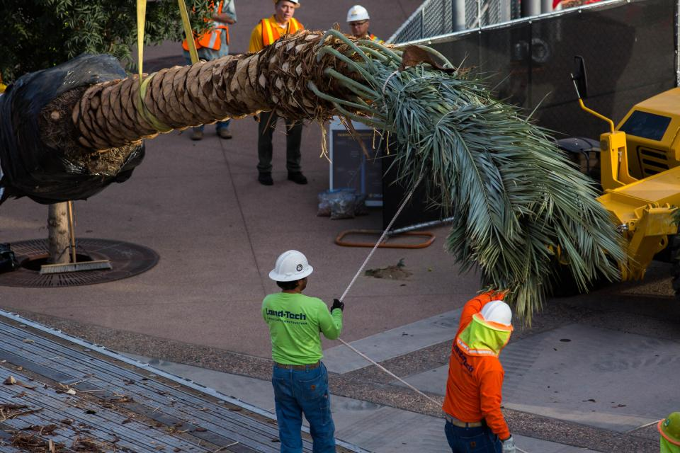 New palm trees are installed on Palm Walk