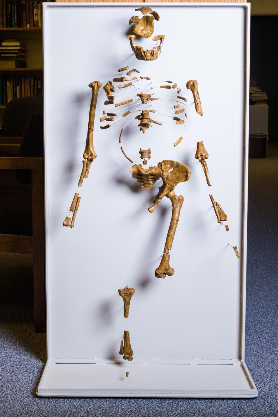 A cast of the Lucy skeleton on the ASU campus