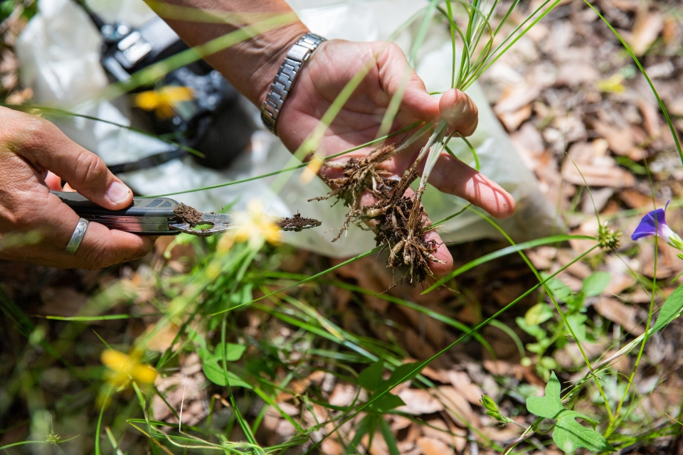 person examining roots of plant