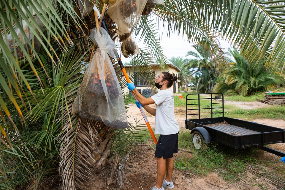 man using tool to remove dates from palm tree
