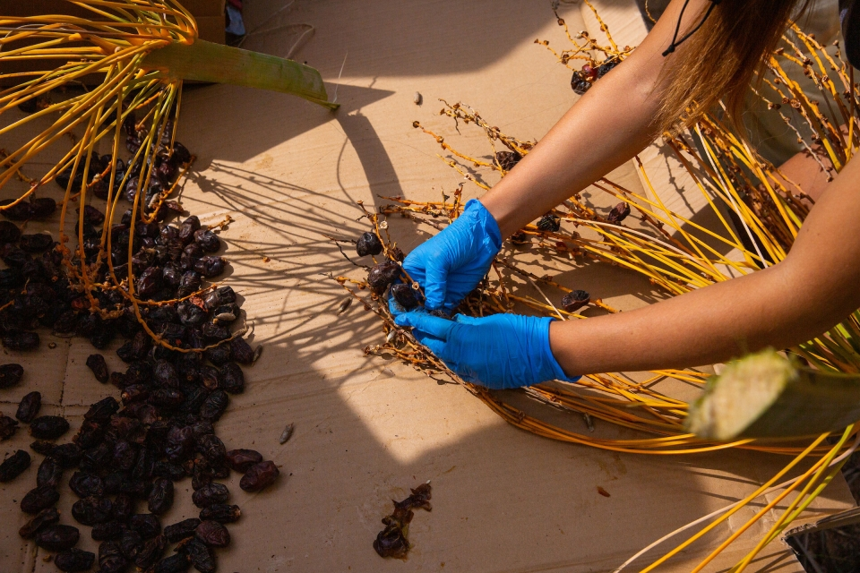 woman picking dates off branch