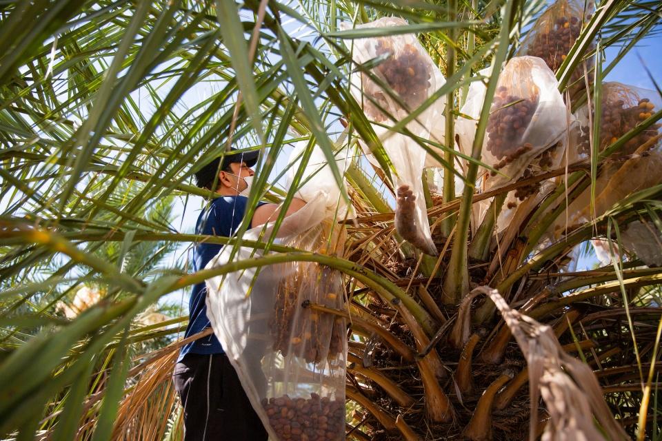 man cutting branch off a palm tree