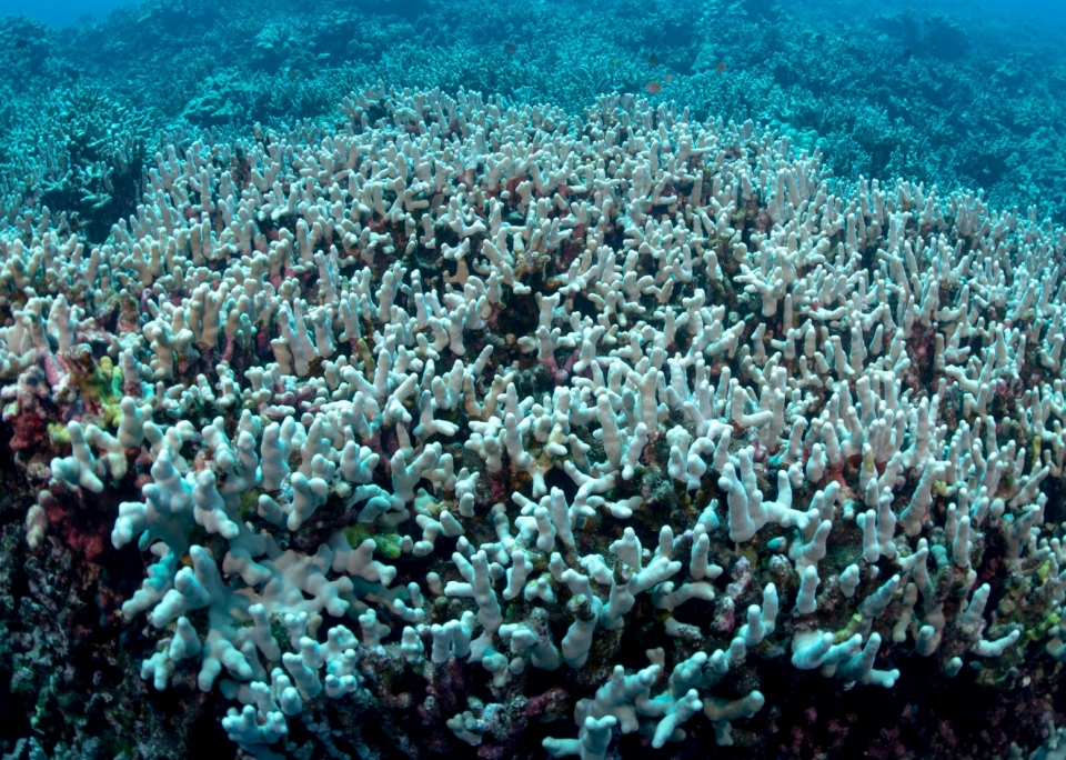 Bleached coral near Hawaii