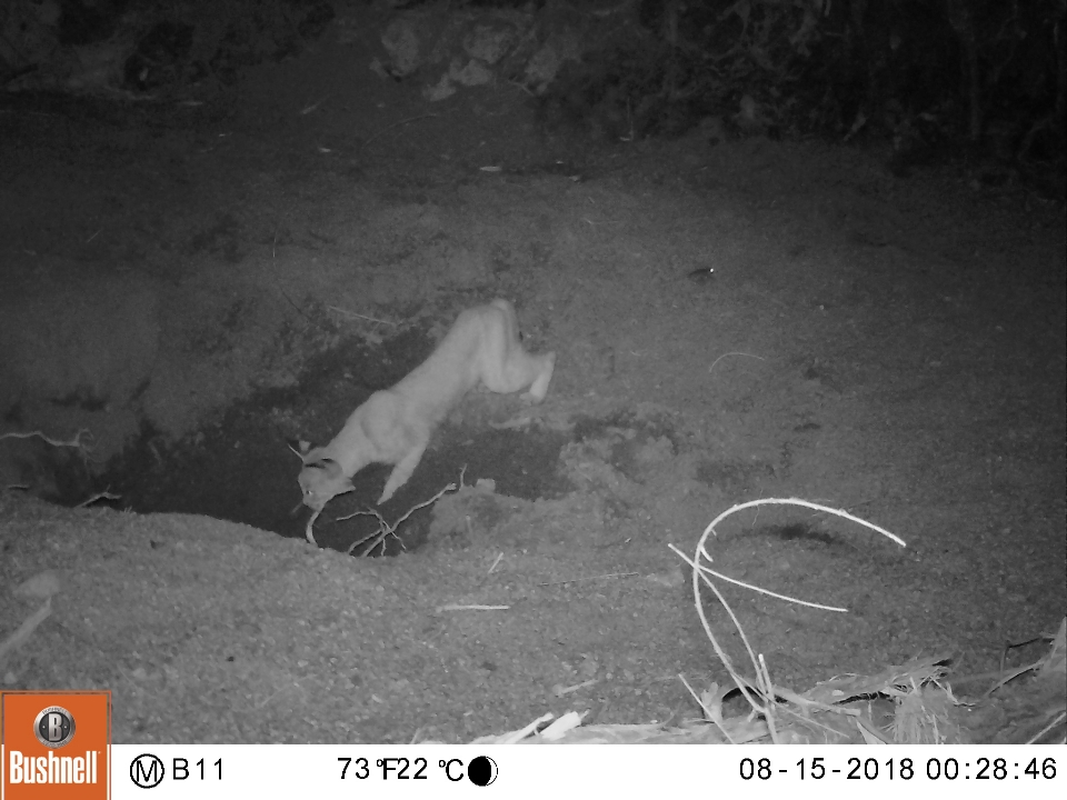 Bobcat drinking from equine well