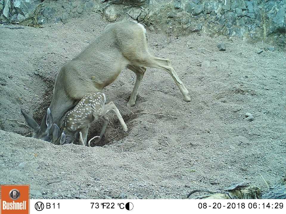 Doe and fawn drinking from desert equine well