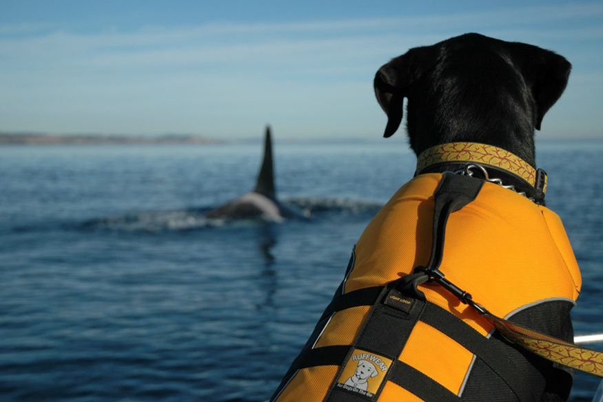 Dog on a boat watching a whale