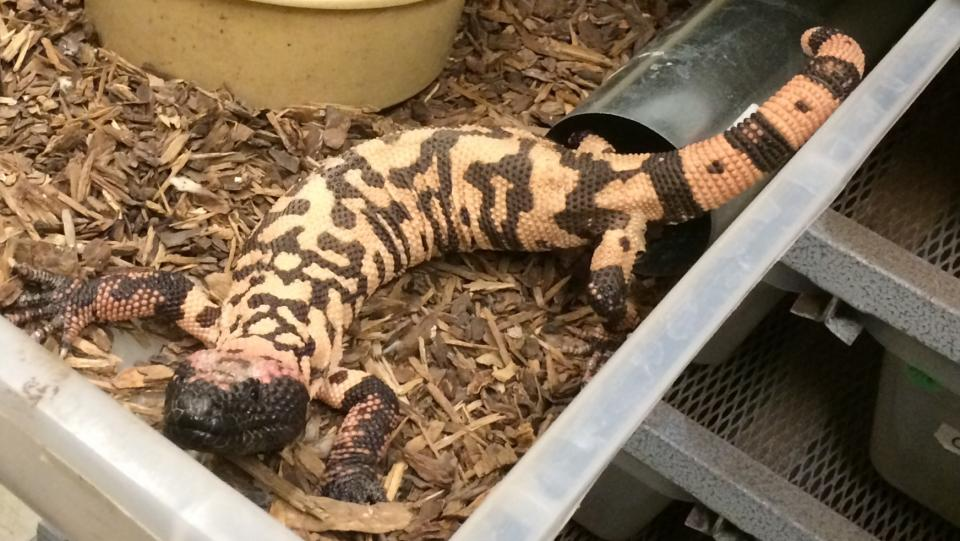 A Gila monster in it's laboratory home