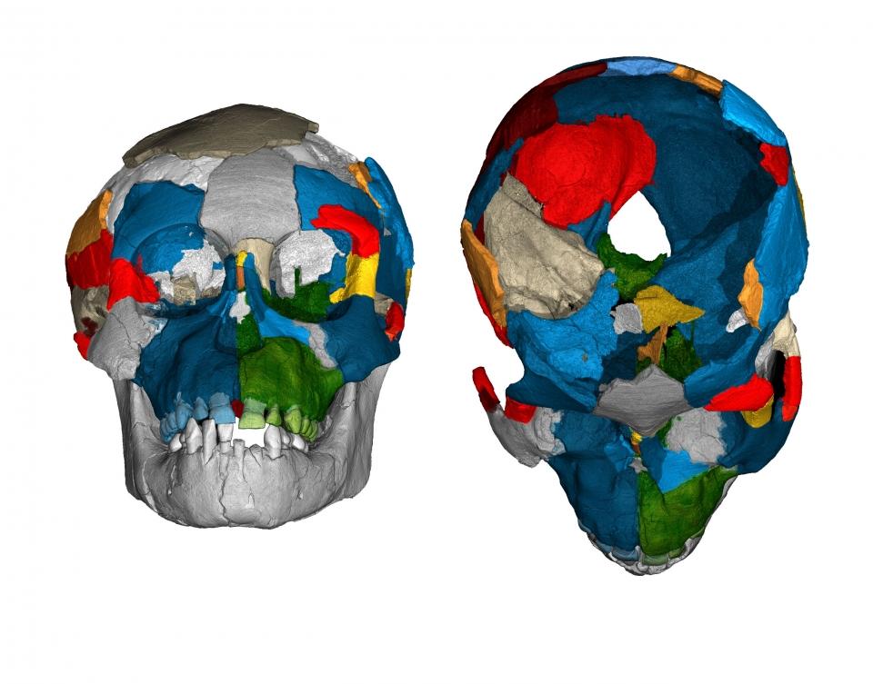 Dikika fossil skull reconstruction