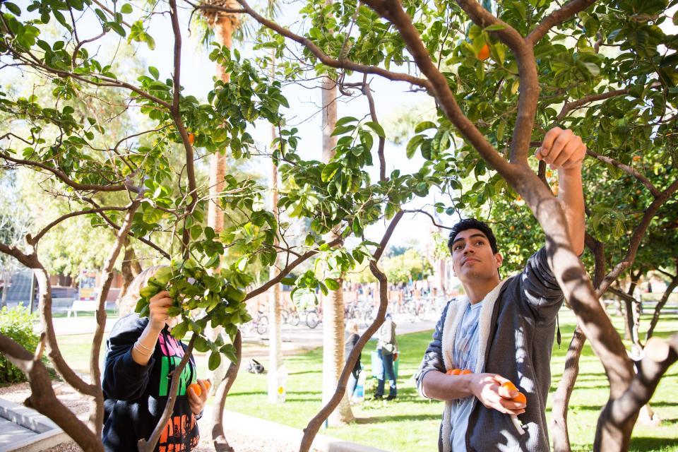 Volunteers harvest oranges in Tempe
