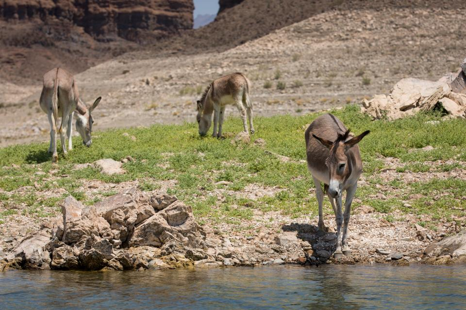 Wild burros drink from Lake Mead.