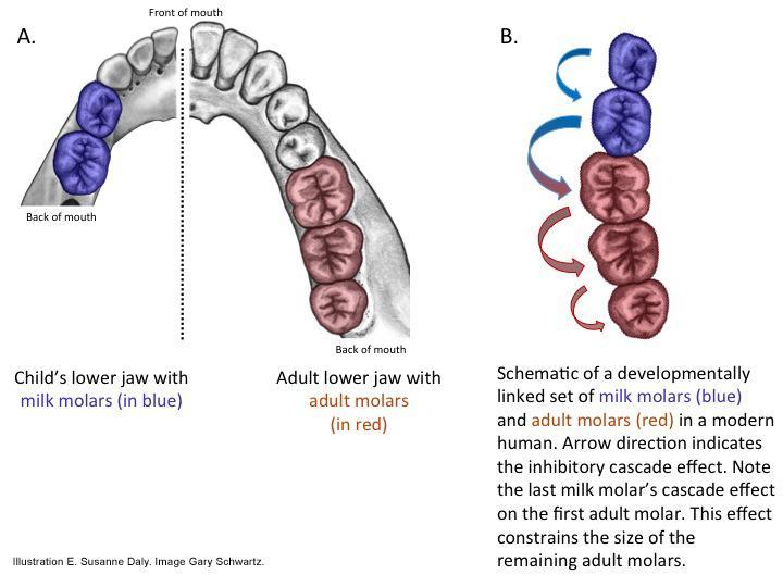 Milk teeth and adult molars