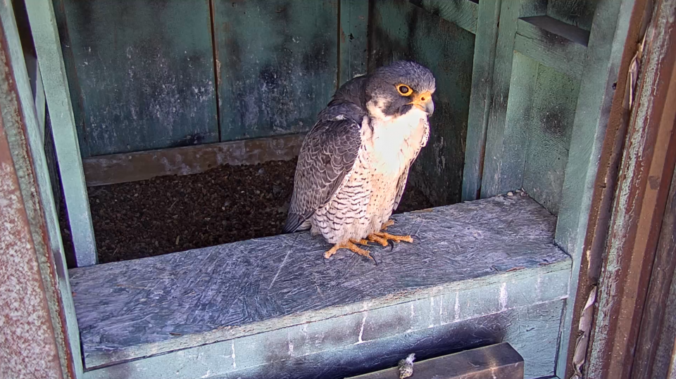 A screenshot from a webcam of a peregrine falcon.