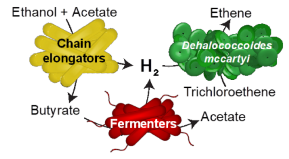 schematic shows how chain elongating and fermenting microorganisms provide hydrogen
