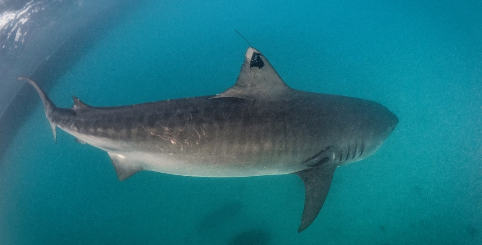 A satellite tracking tag is attached to the fin of a Tiger Shark in The Bahamas.