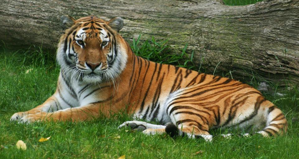 A tiger lies by a fallen log.