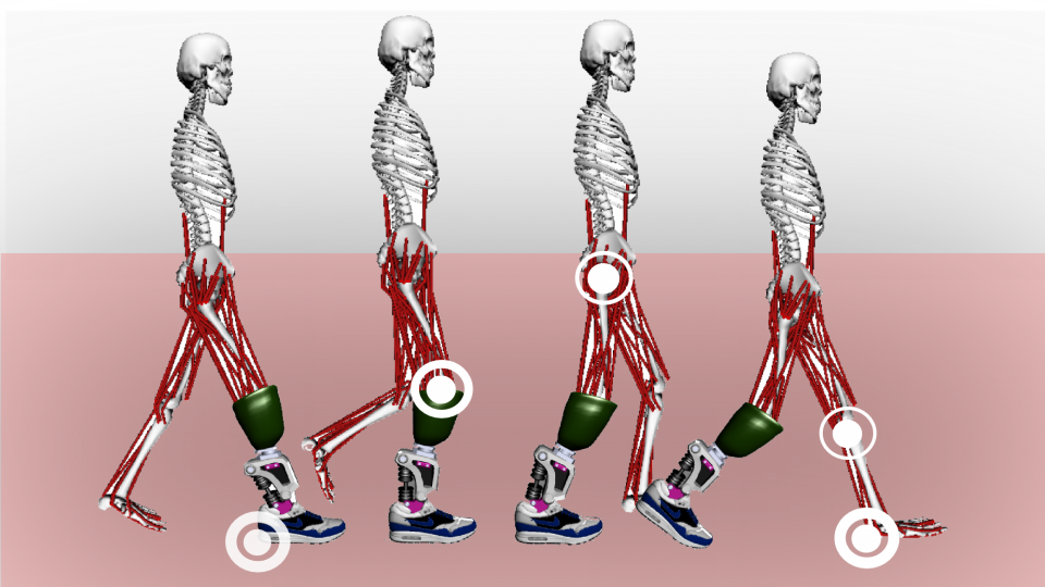 Illustration of the biomechanics of a walking gait