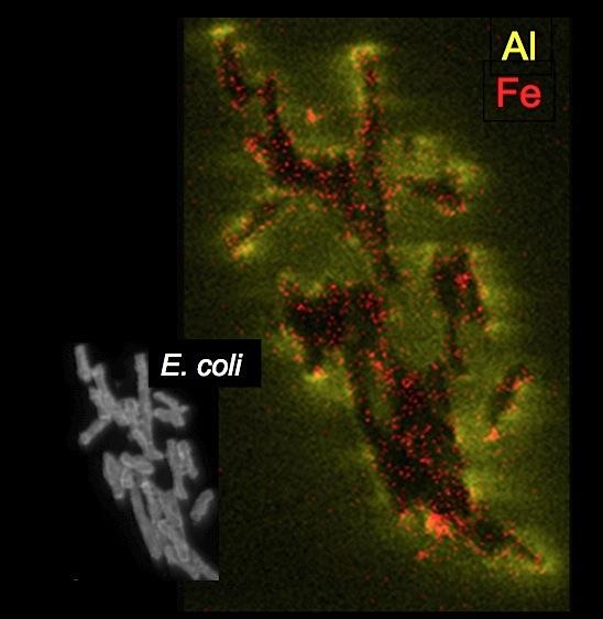 Chemically reduced iron and aluminum attack E. coli cells