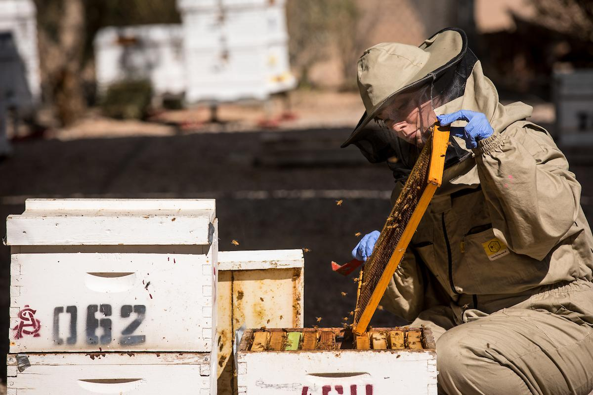Post-doctoral researcher Chelsea Cook studies honey bees at the SOLS Bee Lab