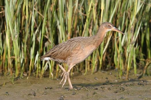 photo of California clapper rail